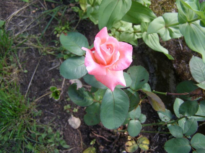 kvete růžička
