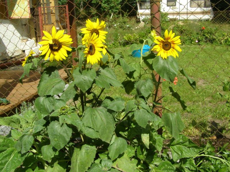 slunečnice se nádherně chytly